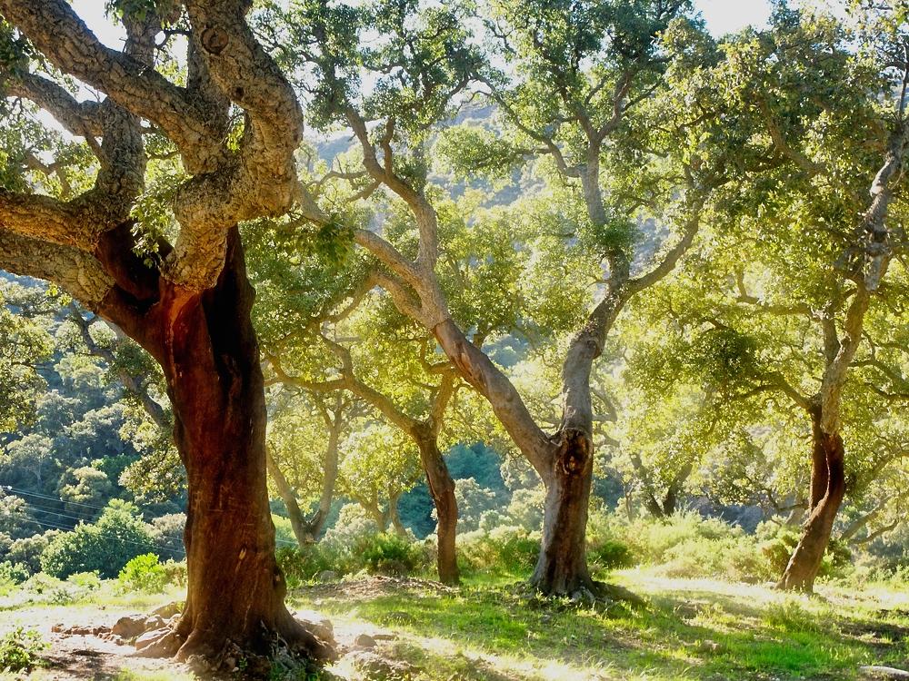 Dąb korkowy w Portugalii-