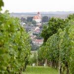 Morawskie winne ścieżki- 105