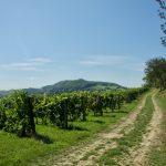 Morawskie winne ścieżki- 9