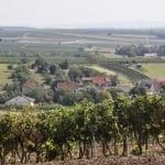 Morawskie winne ścieżki- 111