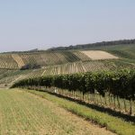 Morawskie winne ścieżki- 116