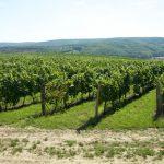 Morawskie winne ścieżki- 10