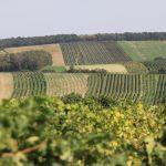 Morawskie winne ścieżki- 44
