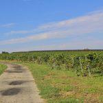 Morawskie winne ścieżki- 45
